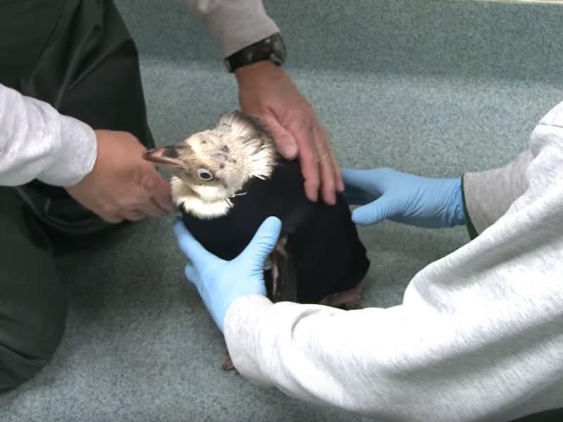Гидрокостюм для пингвина. В США придумали, как спасти страдающую птицу