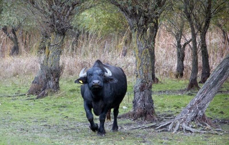 В Индии нетрезвые буйволы выдали самогонщиков полиции