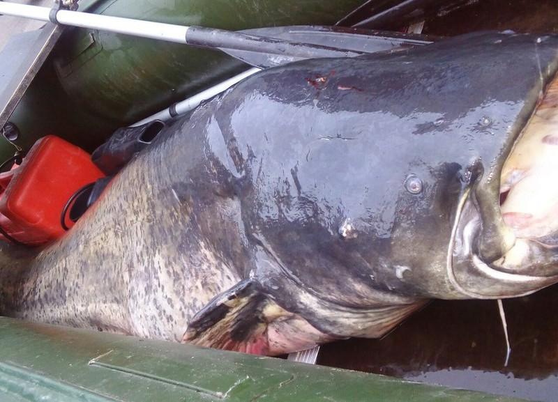 В Киеве поймали сома весом более 90 кг. Эксперты возмущены