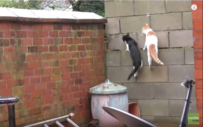 Кошачья грация и парное синхронное прыгание – новый хит для любителей пушистых