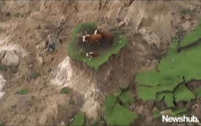 В Новой Зеландии коровы чудом спаслись от землетрясения на клочке земли