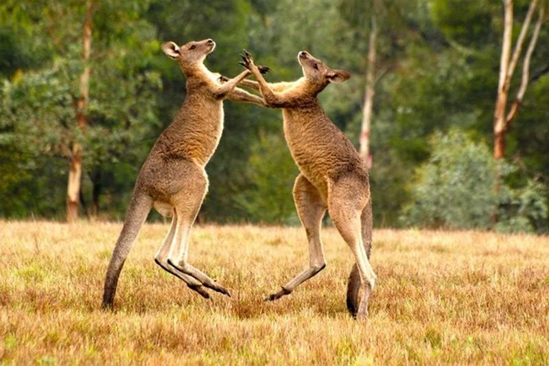 Этих боксеров нелегко нокаутировать – у них есть еще одна точка опоры: как дерутся кенгуру