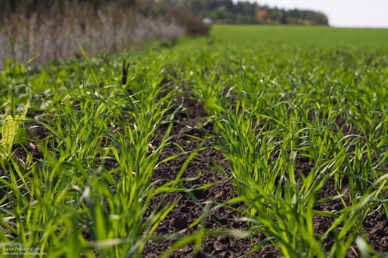 На Николаевщине озимая пшеница взошла на 70% посевов