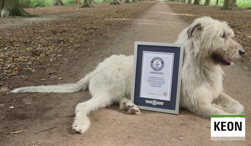 76,8 см – в Бельгии зарегистрировали мировой рекорд самого длинного хвоста у собаки