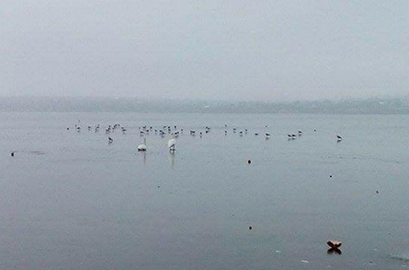 В Николаеве в Яхт-клубе на льду замерзает стая лебедей