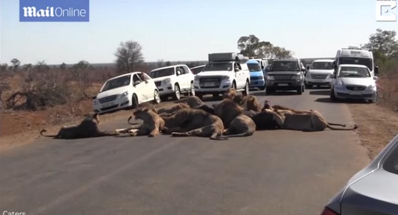 Два десятка львов устроили затор, обедая посреди дороги