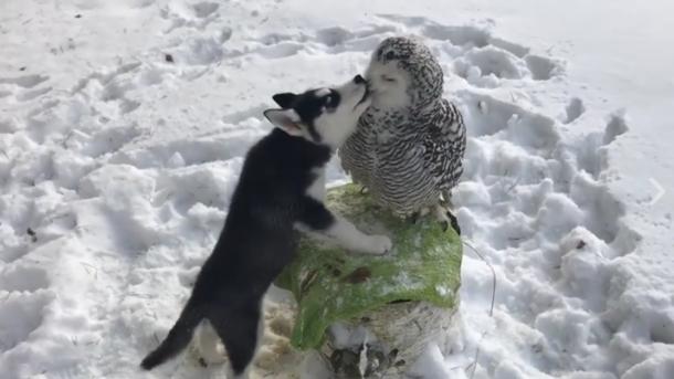 Забавное видео: маленький хаски без ума от белой совы