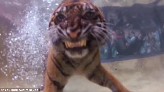 Кто сказал, что кошки ненавидят воду? Посмотрите, как тигр ныряет за вкусненьким