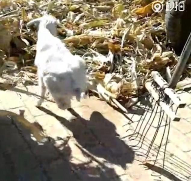 Главное – жажда жизни: в Китае козленок-инвалид, научившийся ходить на двух ногах, стал местной знаменитостью