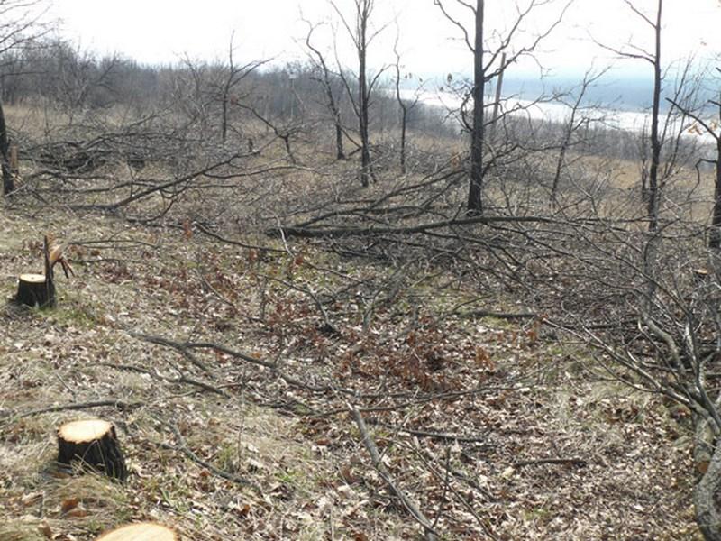 В Николаевской области вырубили почти 200 дубов