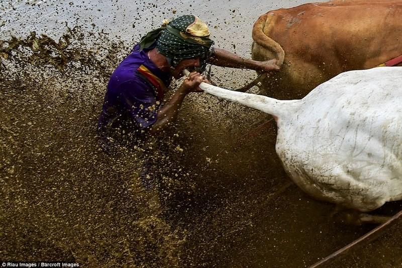 Укусить быка за хвост, чтобы бежал быстрее: на Суматре прошли традиционные гонки на быках