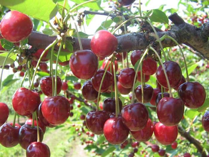 Украина осталась без вишни, абрикосов и персиков