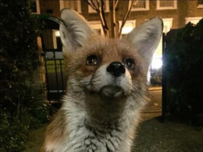 У нас сердобольные граждане прикармливают уличных котов и собак. В Англии радиоведущий прикормил лиса