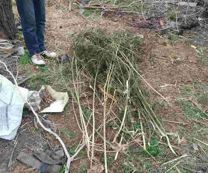 В Березнеговатском районе и хранили, и сеяли коноплю