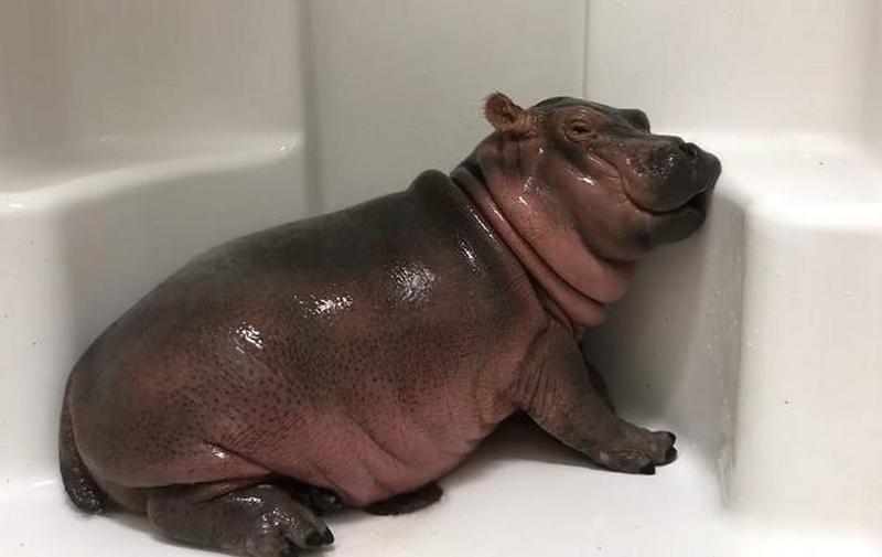Маленькая бегемотиха, которая принимает душ, стала звездой соцсети
