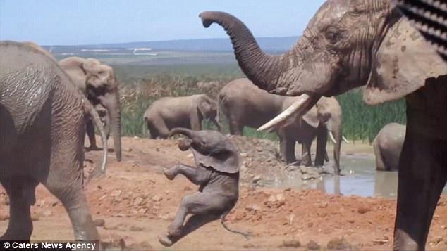 Реальная жизнь Дамбо: слоненок попал под «горячий хобот»