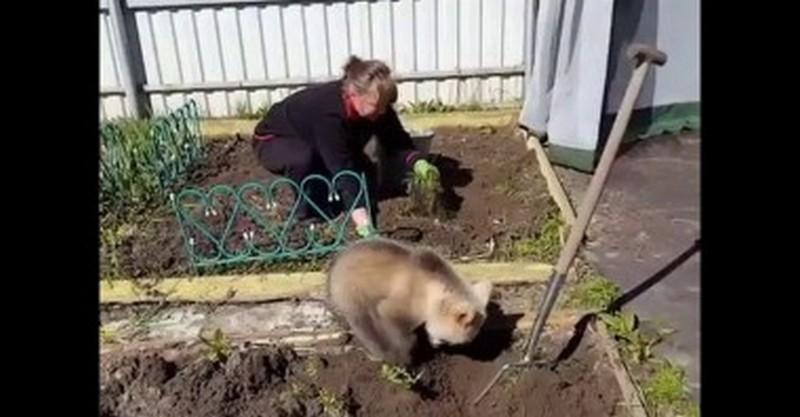 В России умиляются видео медвежонка, копающего ямки под картошку