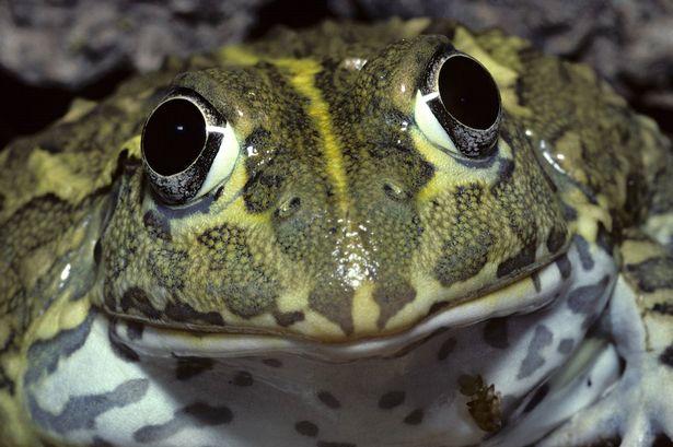 «Фрогзилла»: техасец застрелил 5-килограммовую лягушку