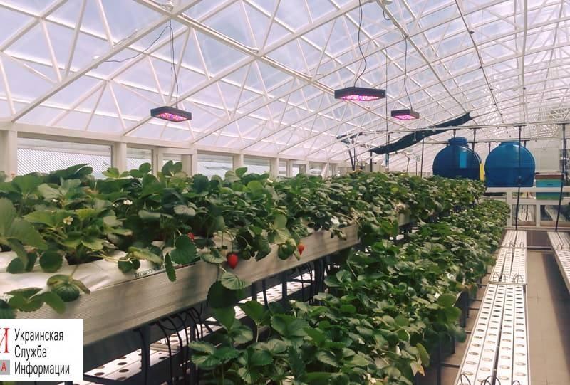 З лану до столу. В Одессе под куполом рынка выращивают салат и клубнику