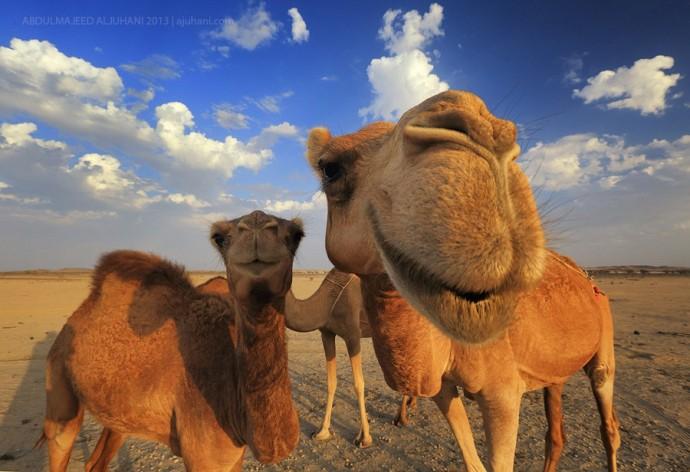 Каждый свое: арабские ученые клонировали верблюда