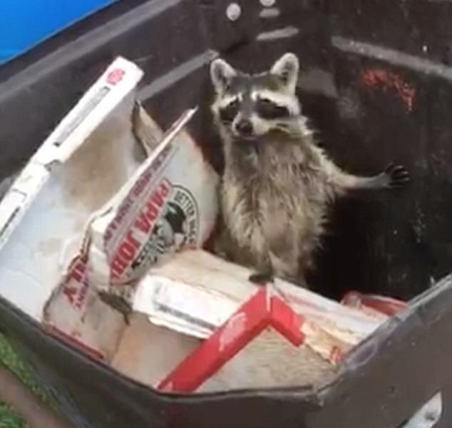 Когда ты не в очень хорошей форме: енот, объевшийся пиццы, не смог грациозно перепрыгнуть из одного мусорного контейнера в другой