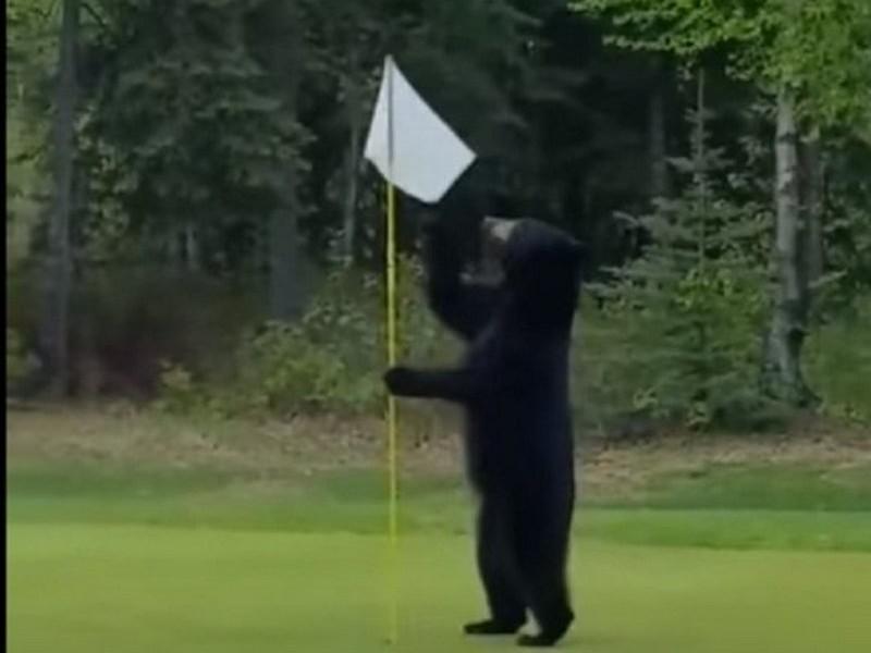 В США медведь прерывал игру в гольф и украл съестное у гольфистов