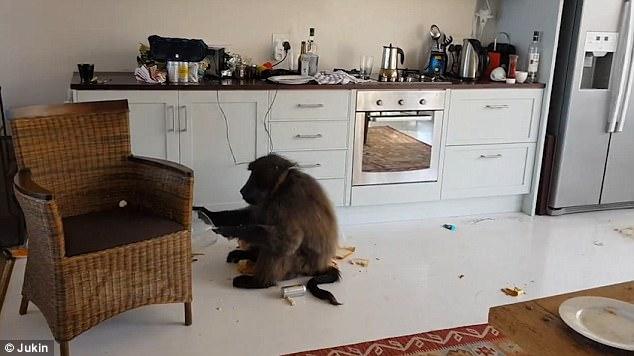 Вы жалуетесь на соседей? Посмотрите, что сделали с роскошной квартирой мужчины бабуины