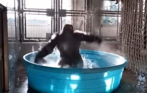1498222708_gorilla
