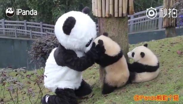 Чтобы научить их жить в дикой природе: учителем маленьких панд стал человек в костюме панды