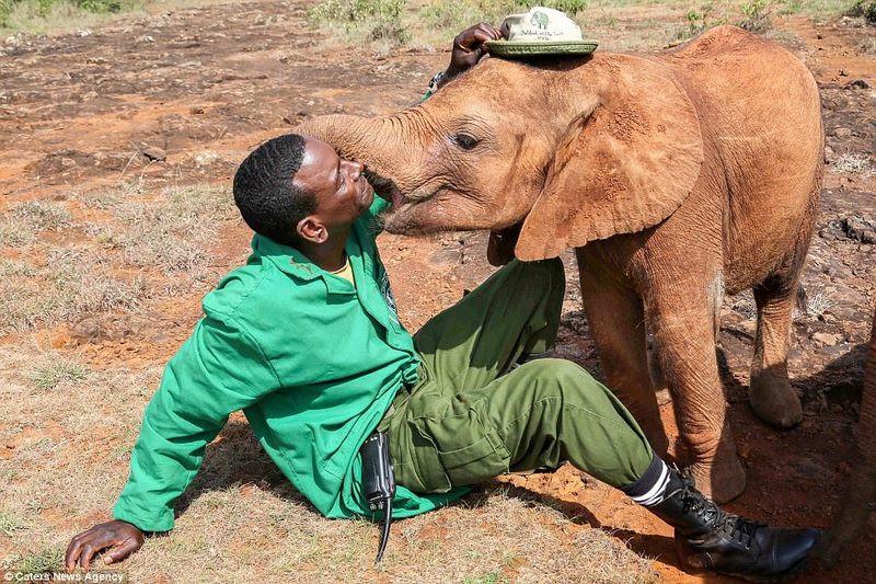 Поцелуй в знак благодарности: спасенный в Африке маленький слоненок не устает говорить «спасибо» своим опекунам
