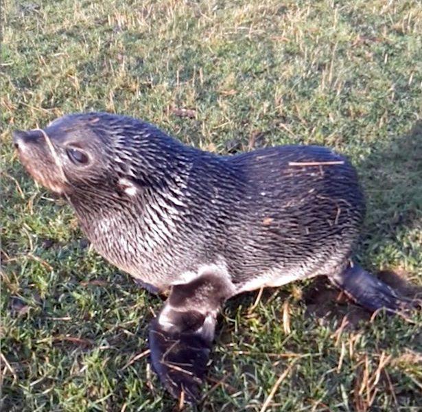 Наказание за доброту? Новозеландец может заплатить штраф в размере 250 тыс. долларов за то, что спас маленького тюленя