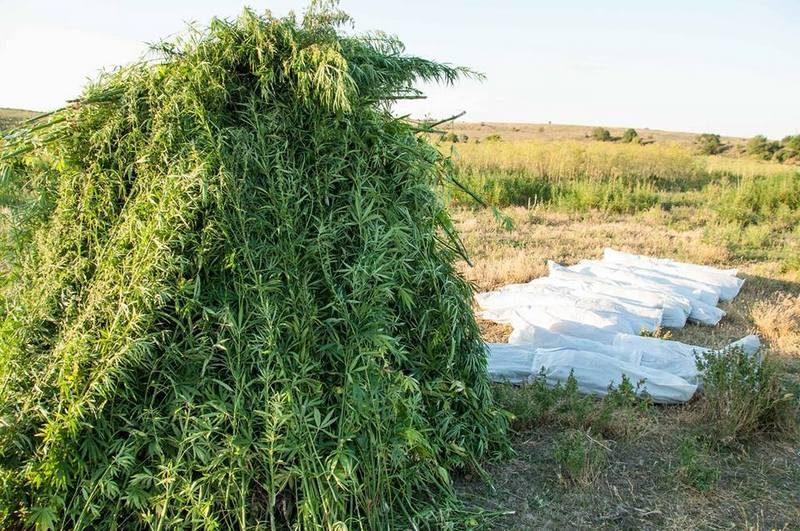 В Запорожской области нашли плантацию конопли с растяжками и вооруженной охраной