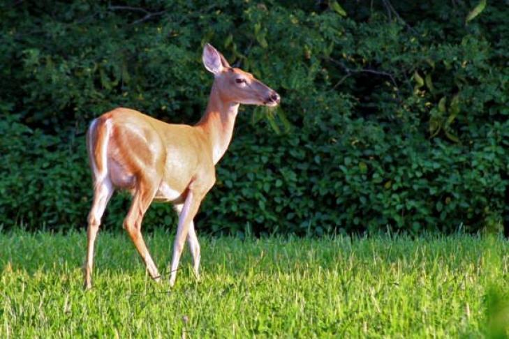 Бэмби-мститель: олень затоптал ястреба, защищая зайца (ВИДЕО)