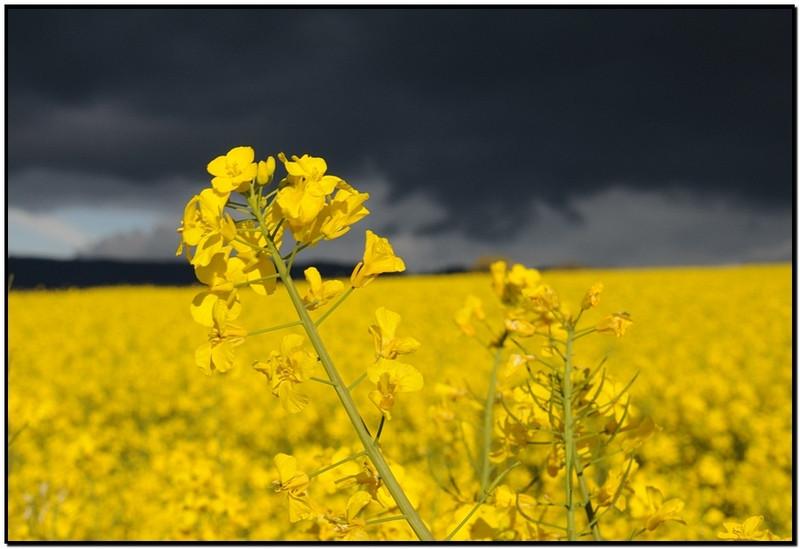 Ни Николаевщине нынешний урожай зерновых пока меньше прошлогоднего на 3%. Только с рапсом все хорошо