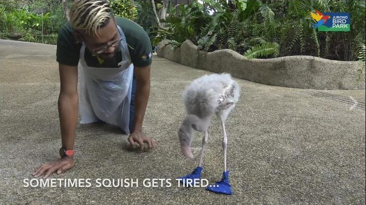 «Дитя заката» в голубых ботинках: малышу фламинго надевают специальную обувь, чтобы он не травмировал лапы