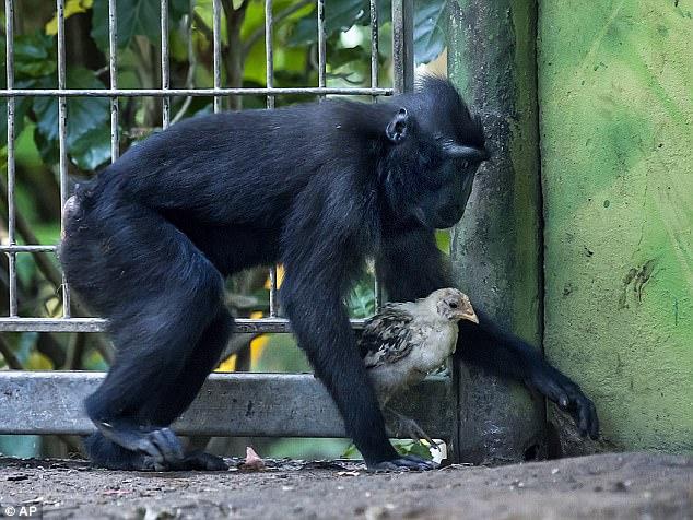 Не разлей вода: в израильском зоопарке подружились обезьяна и курица 1