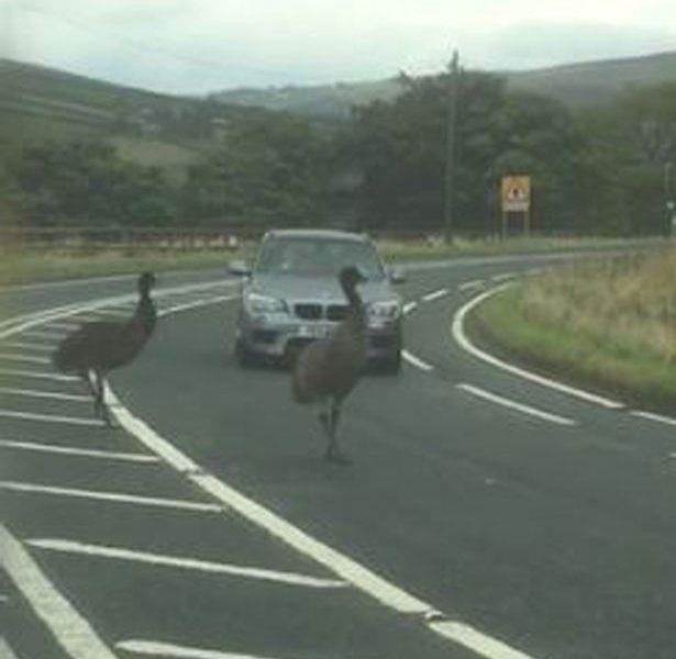 К такому повороту водители готовы не были: в английской глубинке страусы создали затор на дороге
