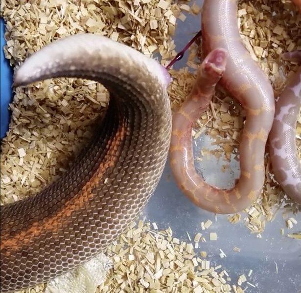 Размножение змей в картинках