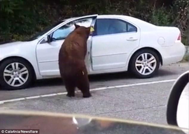 Теперь Калифорния: медведь сумел открыть двери легковушки, в которой была пожилая пара