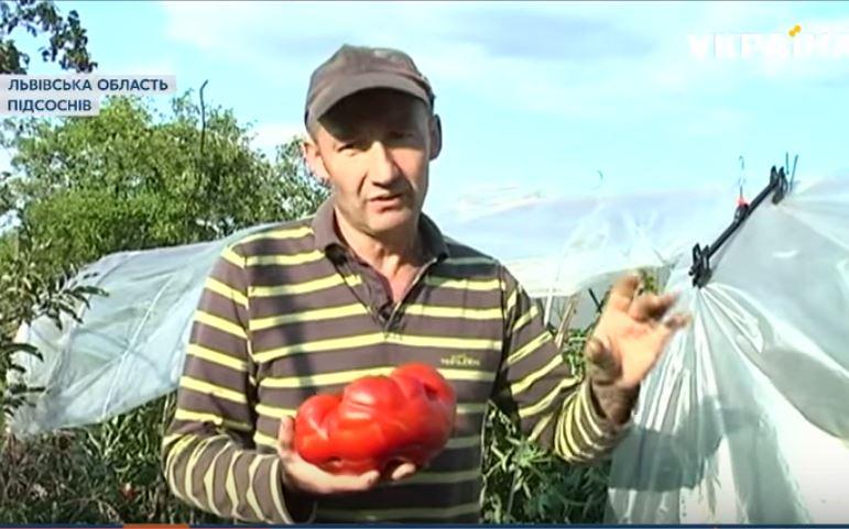 Не в Херсоне и не в Николаеве — гигантский помидор вырастили на Львовщине