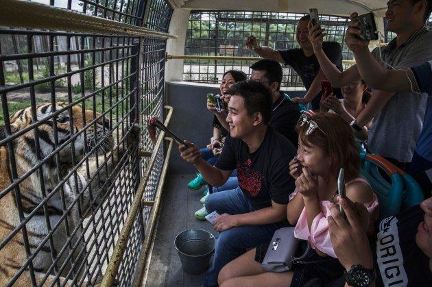 В Китае нелегально разводят амурских тигров – на убой