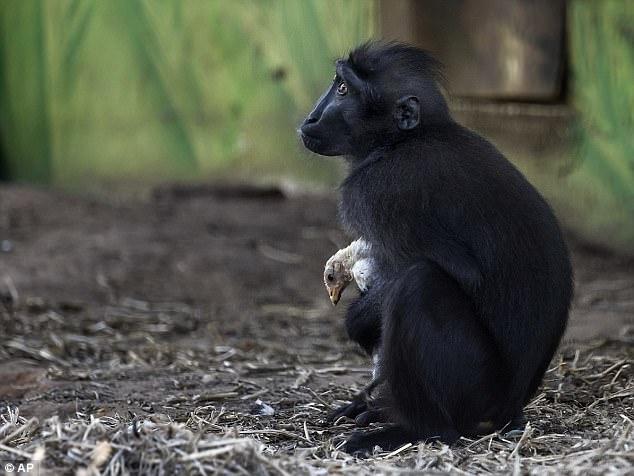 Не разлей вода: в израильском зоопарке подружились обезьяна и курица