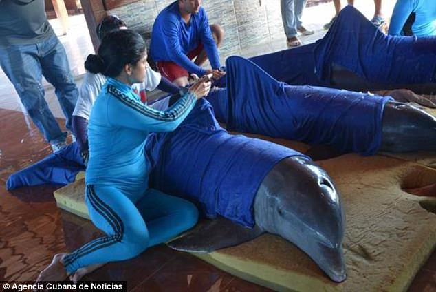 Спасайся, кто может, и животных спасай: на Кубе дельфинов из океанариума эвакуировали вертолетом за несколько часов до прихода «Ирмы»