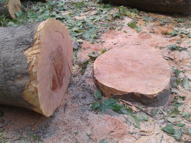 Чиновники в доле? В Николаеве во дворах домов пилят на древесину здоровые деревья