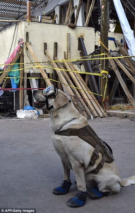 Знакомьтесь, это Фрида: как в разрушенной землетрясением Мексике собака стала национальным героем 7