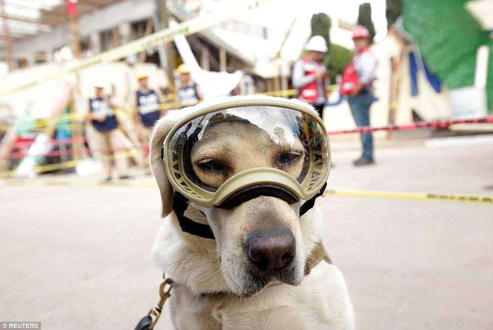 Знакомьтесь, это Фрида: как в разрушенной землетрясением Мексике собака стала национальным героем 13