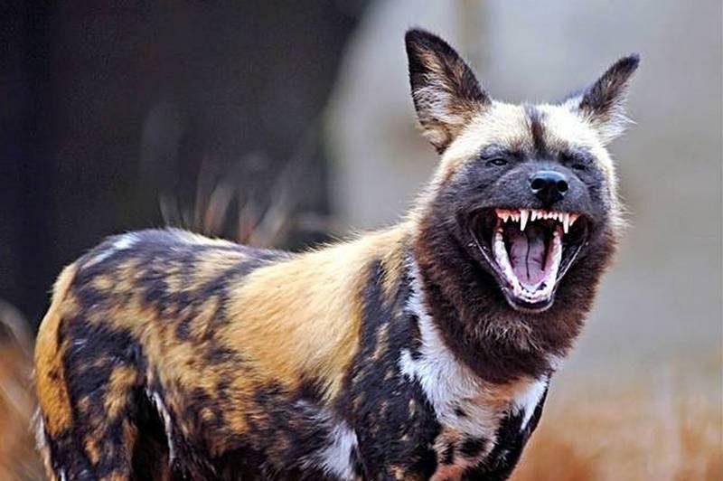 Гиеновидные собаки голосуют за выход на охоту чиханием