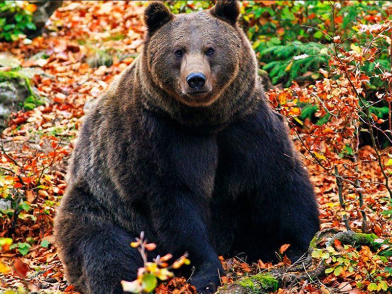 «Мишка очень любит мед»: пасечники Эстонии все больше страдают от набегов медведей