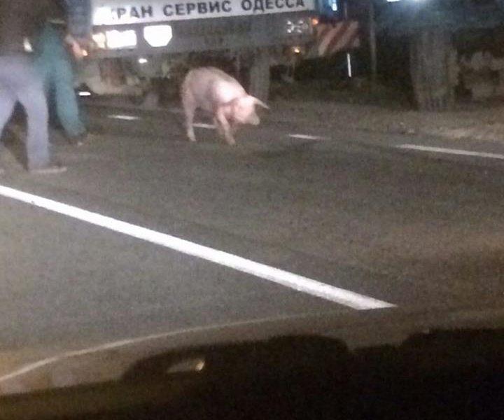 Под Коблево «просыпали» почти 200 свиней. Интересно, всех ли собрали?