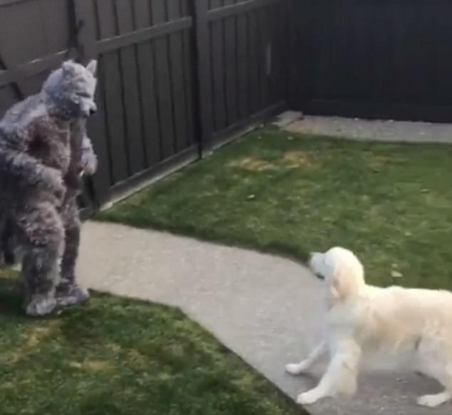 В Канаде мужчина, нарядившись в костюм волка на Хэллоуин, устроил проверку «на вшивость» своему псу